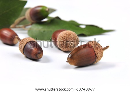 picture of mature acorns and oak leaves with white bottom - stock photo