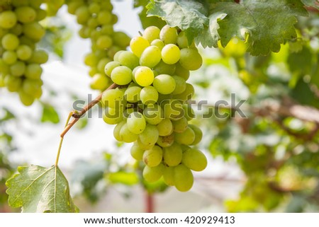 Picture of ripe white grape branch, grape leaves background, tasty sweet fruits, warm sunlight through fresh green grapes leaves, vine produce, winery industry, vines valley  - stock photo