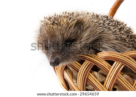 Picture of the hedgehog in a wicker basket - stock photo