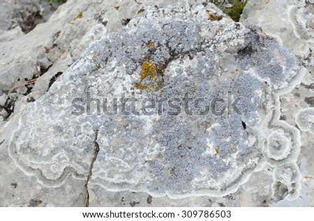 Picturesque colony with a predominance of blue lichen on a limestone boulder. Natural texture: lichen on stone - stock photo