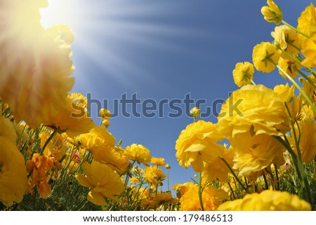 Picturesque field of beautiful yellow buttercups ranunculus. The spring sun shines brightly gorgeous flowers - stock photo