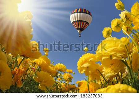 Picturesque field of beautiful yellow buttercups ranunculus. The spring sun shines flying multicolored balloon - stock photo