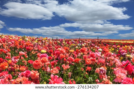 Picturesque field of the blossoming buttercups - ranunculus. Flowers are grown for export in the Nordic countries. Spring flowering garden large buttercups- ranunculus - stock photo