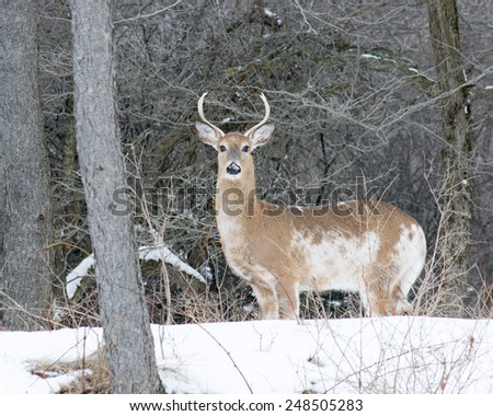 Piebald Whitetail Deer Buck standing in a woods. - stock photo