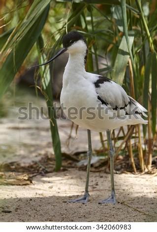pied avocet (Recurvirostra avosetta) - stock photo