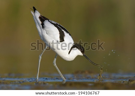 Pied avocet-  recurvirostra avosetta, looking for food - stock photo