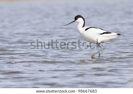 Pied avocet ( Recurvirostra avosetta ) walking in water - stock photo