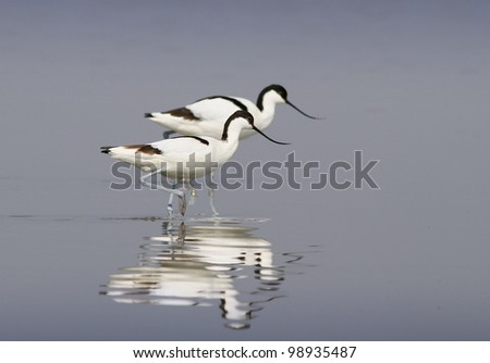 Pied avocetes ( Recurvirostra avosetta )  walking in the water with reflection - stock photo