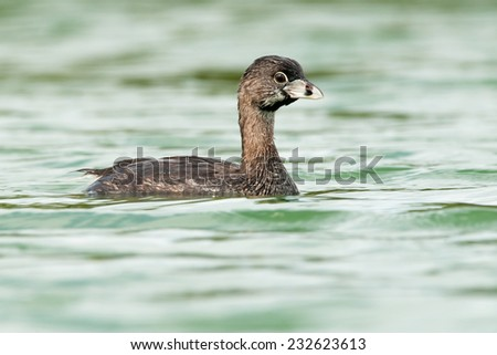 Pied-billed Grebe (Podilymbus podiceps) swimming in a lake. Patagonia, Argentina, South America. Patagonia, Argentina, South America. - stock photo