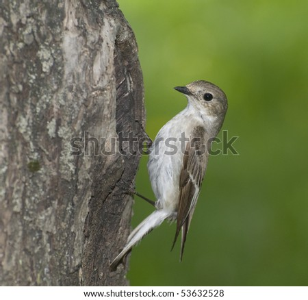 pied flycatcher - stock photo