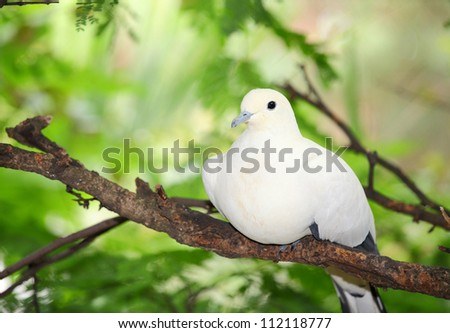 Pied Imperial Pigeon bird catch and relax on the tree - stock photo