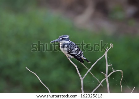 Pied kingfisher,Bird of Thailand - stock photo