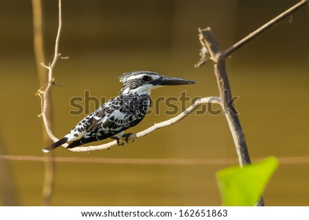 Pied Kingfisher (Ceryle rudis) catch on the branch in nature - stock photo