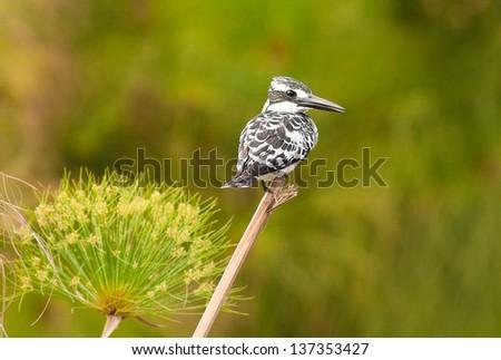 Pied Kingfisher(Ceryle rudis)Kenya, national park - stock photo