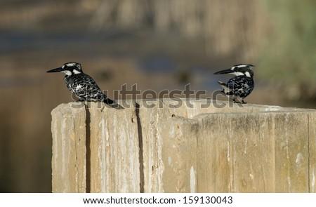 Pied Kingfishers - stock photo