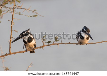 Pied Kingfishers on perch in Kruger National Park - stock photo