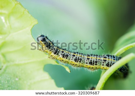 Pieris brassicae caterpillar pest eating leaf, critter called cabbage butterfly making hole in vegetable, cabbage white insect on cabbage leaf. Shallow depth of field, focus on caterpillar - stock photo