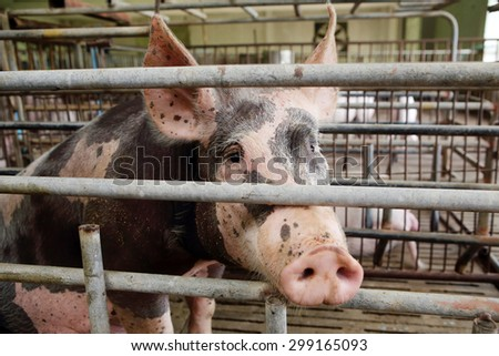 Pietrain breeding sows - stock photo