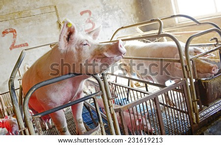 Pig cage of sows  - stock photo