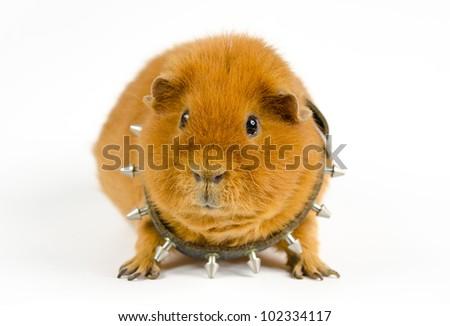 pig challenge - stock photo