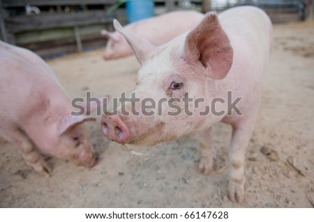 Pig close up in a pen - stock photo