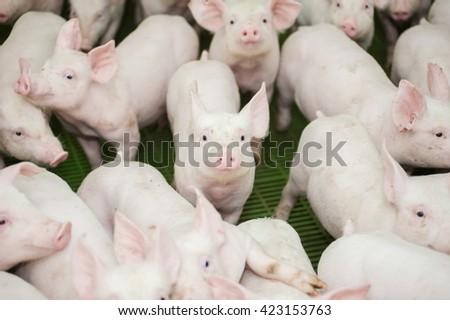 Pig farm. Little piglets - stock photo