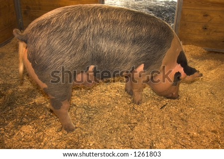 Pig in a barn - stock photo