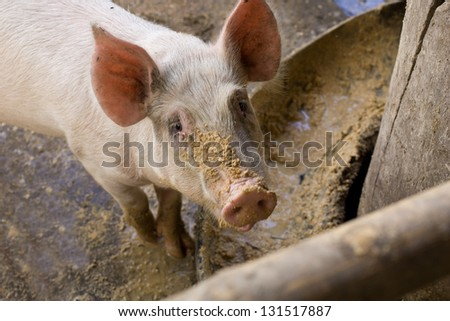 Pig in pen looking at camera with food on face - stock photo