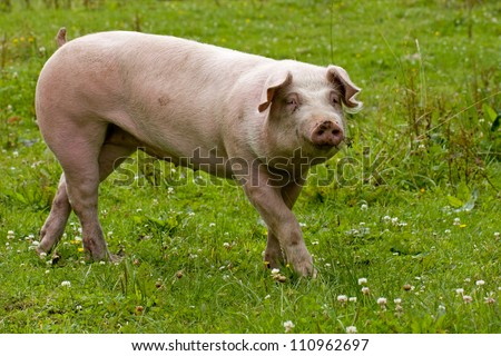 pig in the meadow - stock photo