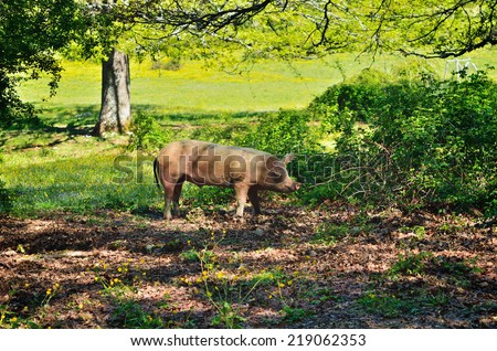 Pig in the thicket green bushes. Mountain forest, Italy - stock photo