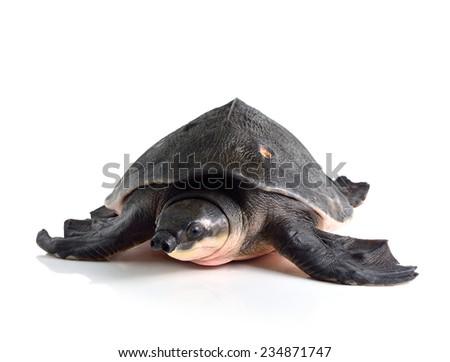 Pig-nosed turtle / Carettochelys insculpta isolate on white - stock photo