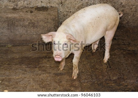 pig on a farm - stock photo