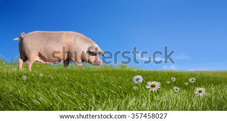 Pig on green field - stock photo