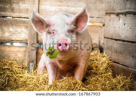 Pig on hay and straw green shamrock in snout - stock photo