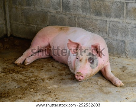 pig on the farm - stock photo