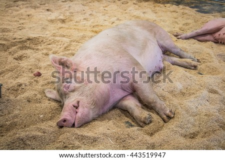 pig sleeping on straw in the pen - stock photo