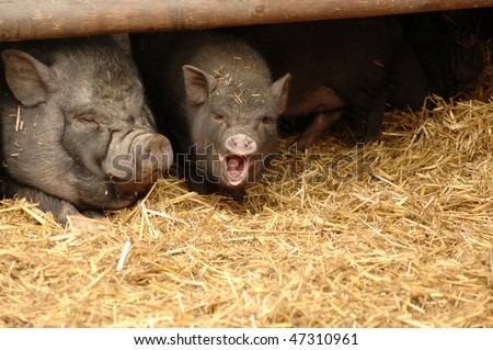 Pig  (Sus scrofa domestica L.). Pleasure of life. - stock photo