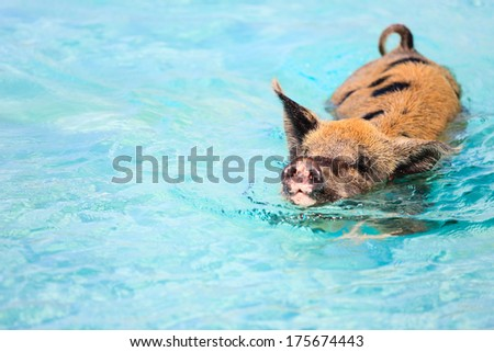 Pig swimming in a water near island of Exuma Bahamas - stock photo
