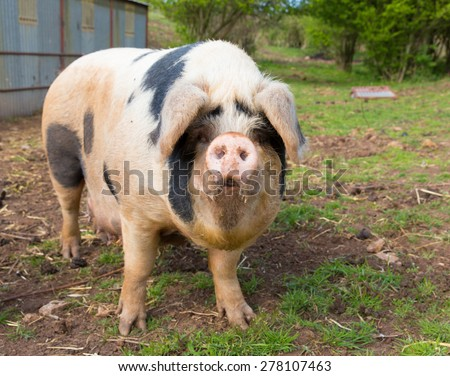 Pig with black spots  - stock photo