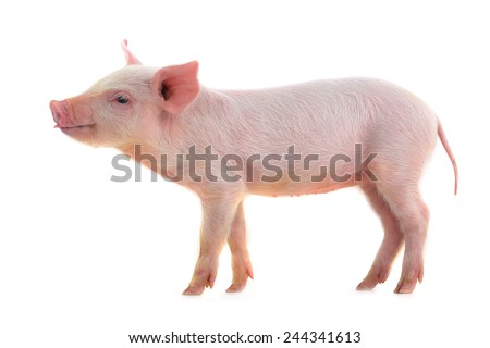 pig with language on a white background. studio - stock photo