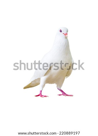 pigeon bird isolated on white background - stock photo