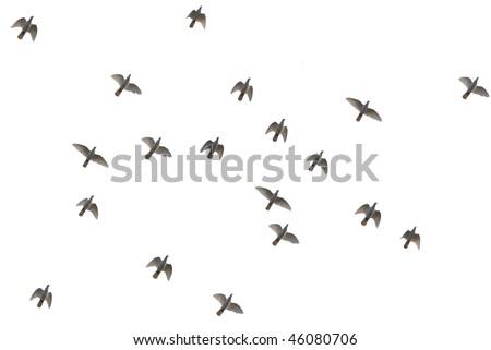 Pigeon fly in the sky with white background. - stock photo