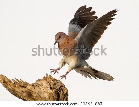 pigeon in flight - stock photo