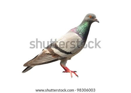 pigeon isolated - stock photo