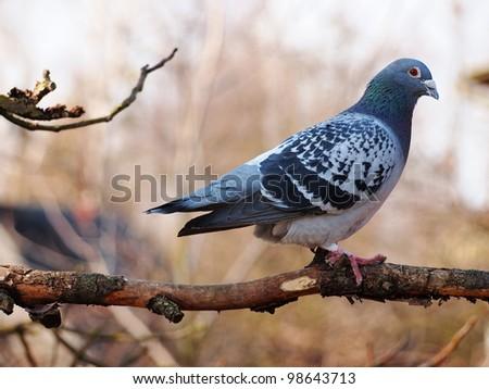 Pigeon on a Tree, Poland - stock photo