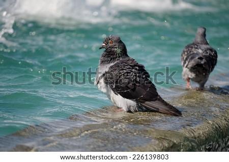 Pigeon on Water, Pigeon, Dove, Bird, Bird on Water, Turquoise - stock photo