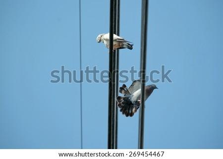 Pigeon on wild - stock photo