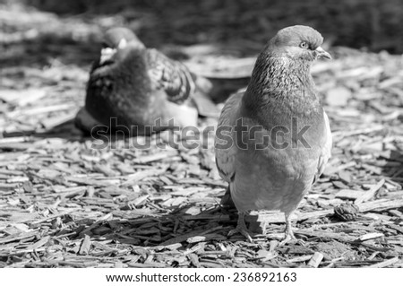pigeon sitting, front view in black and white - stock photo