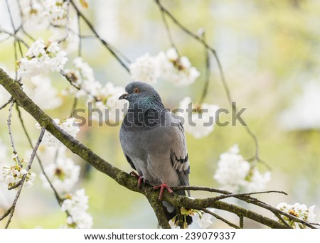 pigeon sitting on the branch of cherry blossom - stock photo