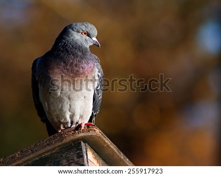 Pigeon sitting on the wooden shelter - stock photo